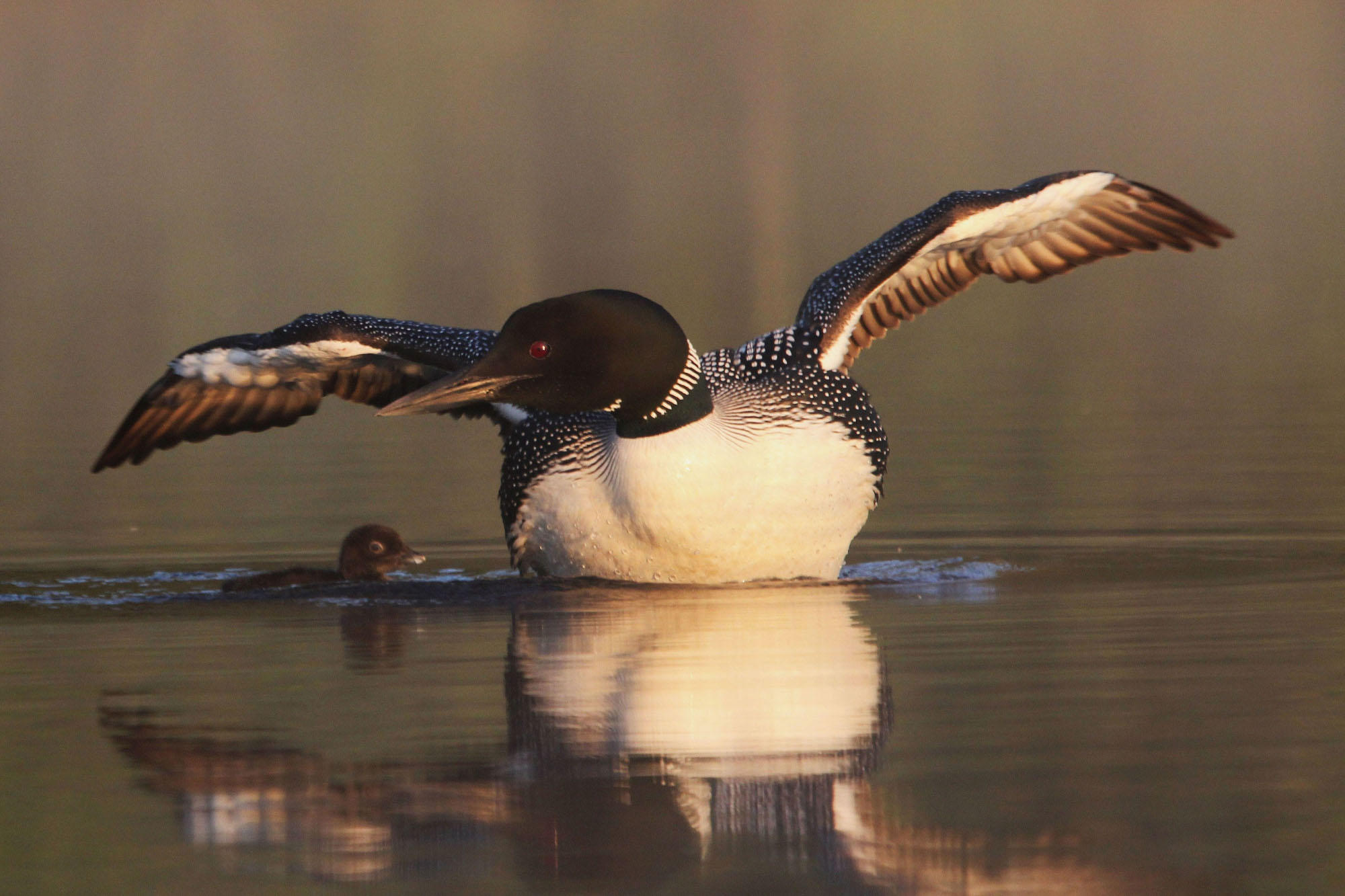 loon and chick on lake vilas county wisconsin