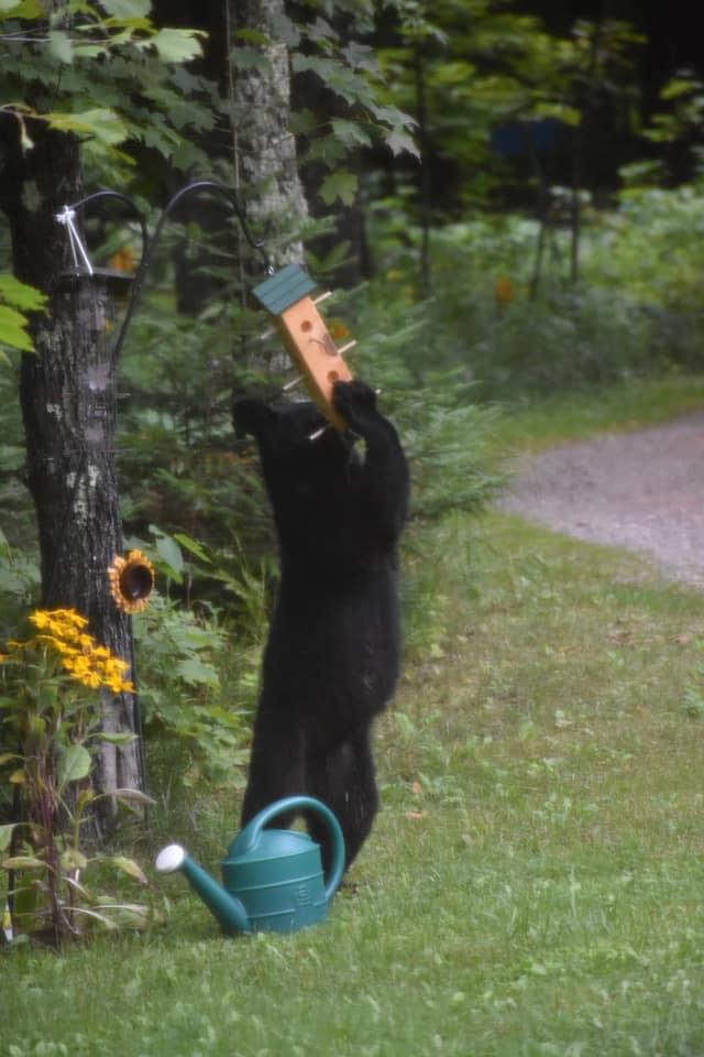 black bear at feeder vilas county wisconsin
