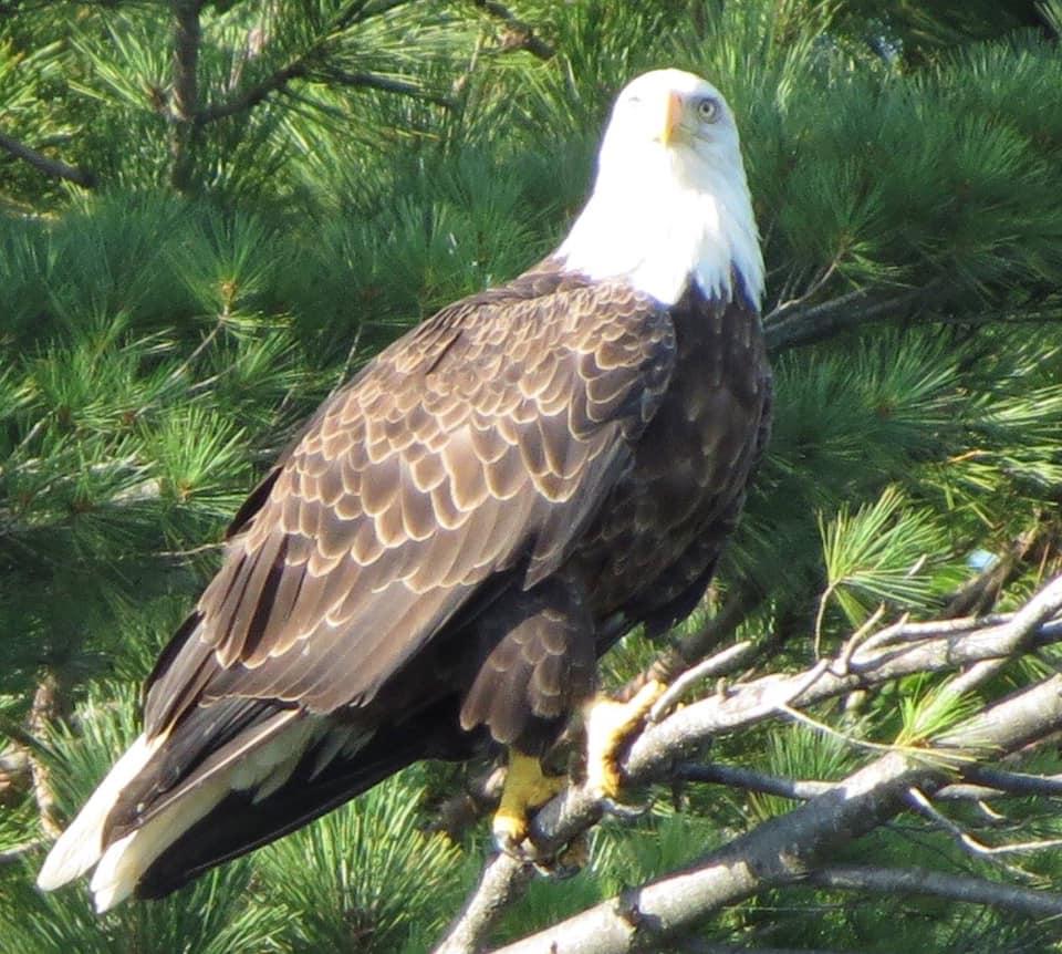 bald eagle vilas county wi