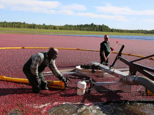 Cranberry Harvest Tour At Lake Nokomis