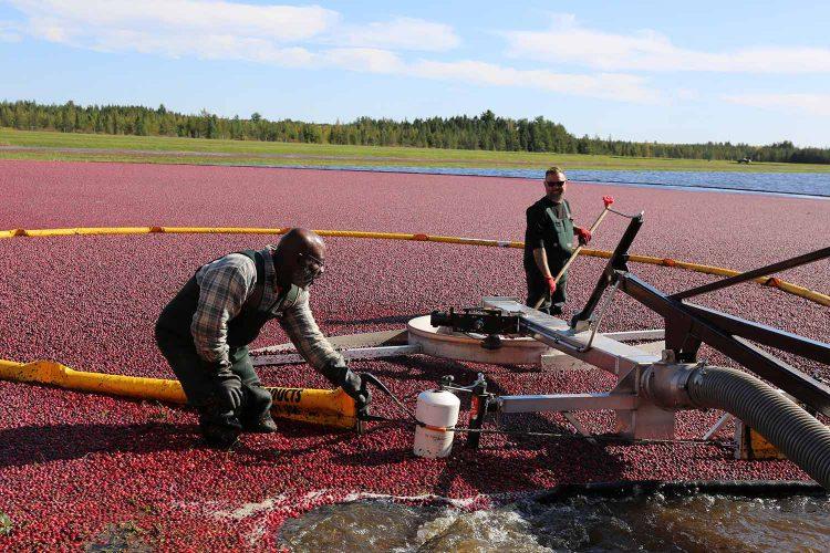 Cranberry Harvest Tour At Lake Nokomis