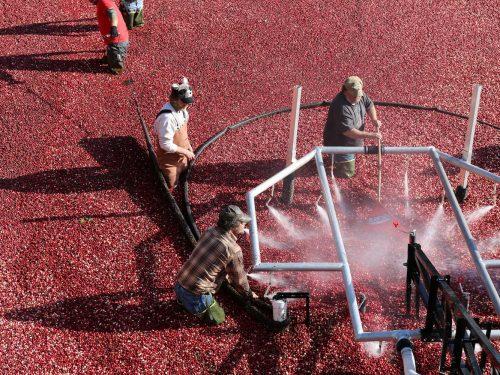 Cranberry Harvest Tour